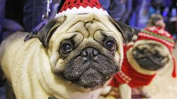 There Are So Many Pugs In She & Him's 'Winter Wonderland'