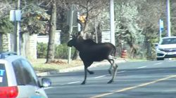 'Moose On The Loose' Runs Wild Through Canadian