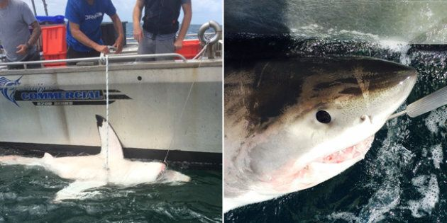 Sharks were caught and then released further out to