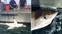 Five Great White Sharks Caught At Notorious Hot Spot On The