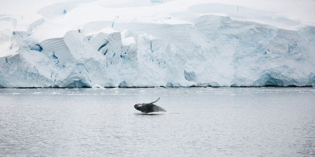 A juvenile whale breaches in the Antarctic seas near a tabular iceberg in
