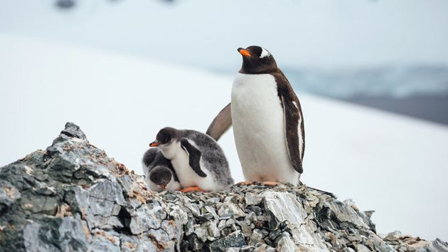 Adelie penguins in