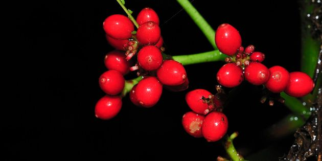 Anti-Cancer' Berries Discovered In Australian Rainforest | HuffPost