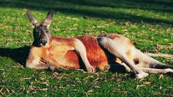 All The Times Kangaroos Ruled The Internet In