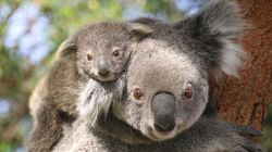 Two Koala Joeys Have Popped Out Of Their Pouches In Time For