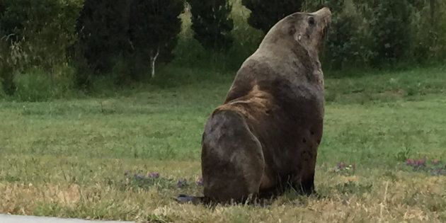 A rogue seal has escaped for a walk on Boxing Day morning in