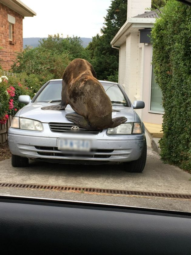 A Seal Just Broke Loose In Tasmania For A Boxing Day