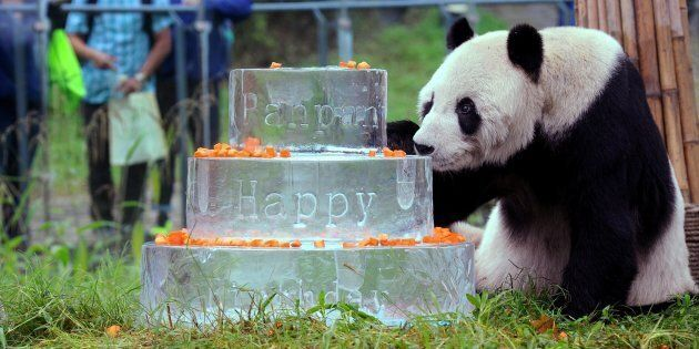This photo taken on Sept. 21, 2015 shows giant panda Pan Pan sniffing a birthday cake made of ice for his 30th birthday at the China Conservation and Research Center for the Giant Panda in Dujiangyan, Sichuan Province.