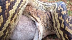 Python Eats Wallaby And It Looks