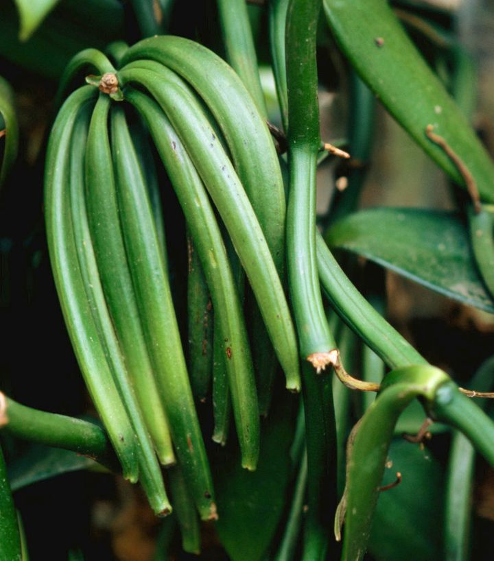 These vanilla pods aren't ready for harvest just yet.