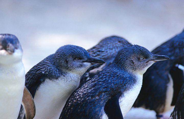 Phillip island is famous for it's population of Blue Fairy Penguins.