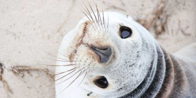 You might see a baby sea lion at Kangaroo Island's new wilderness trail.