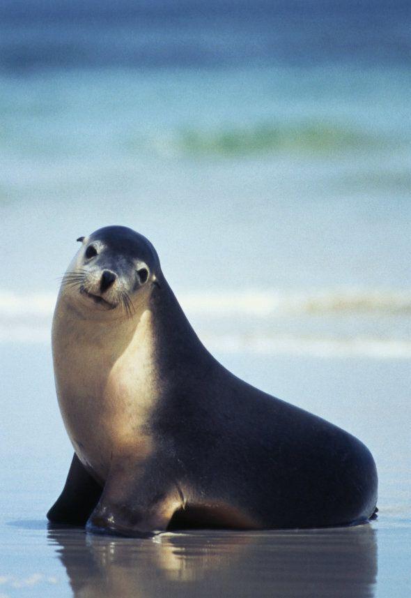 A sea lion at Kangaroo