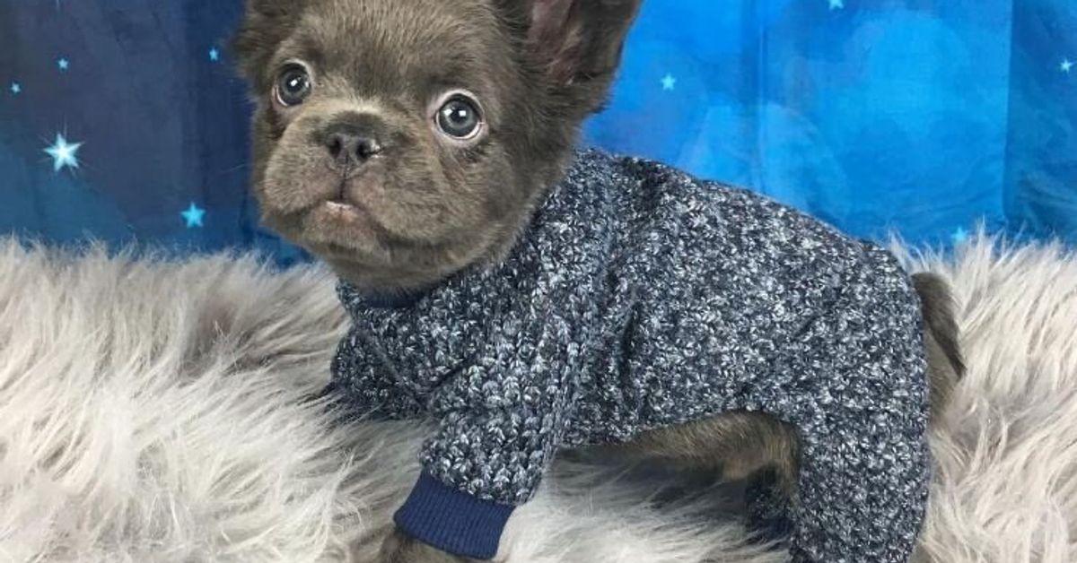Meet Fozzy The Fluffy French Bulldog Huffpost Australia