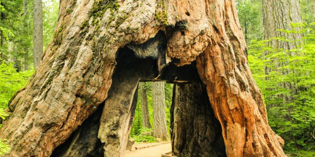 Tunnel in the Pioneer Cabin Sequoia Tree, cut in the 1880s at Calaveras Big Trees State