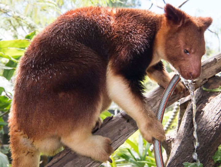 A Goodfellows Tree Kangaroo drinks water from his own personal hose pipe at Taronga Zoo.