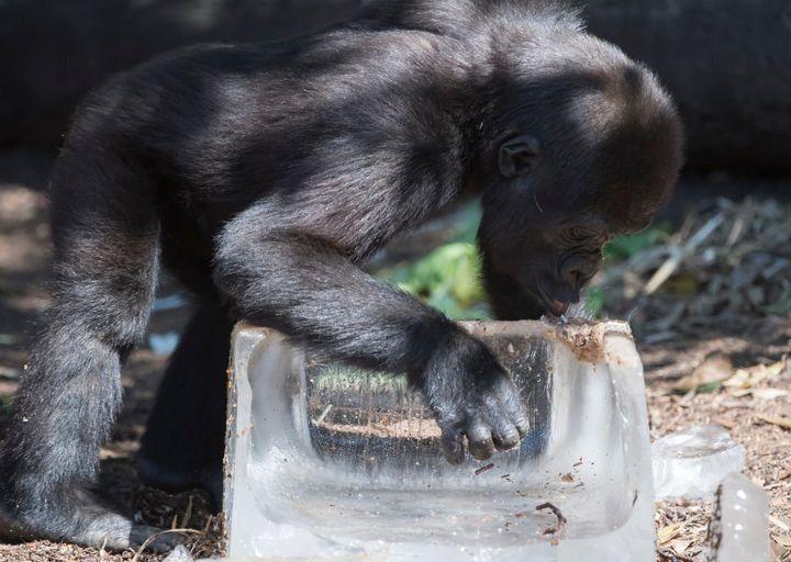 A baby gorilla sampling his ice block treat at Taronga Zoo on January 11, 2017.