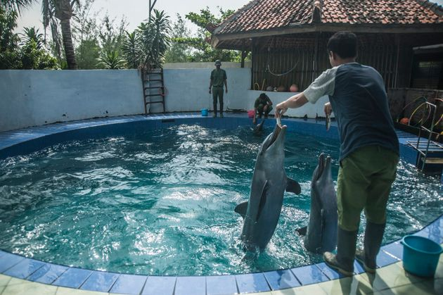 Dolphins, like these ones in Indonesia, can be trained, but it's not enough stimulation for these intelligent,...