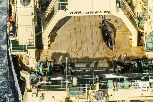 Japanese ship Nisshin Maru found in Australia waters with dead whale on