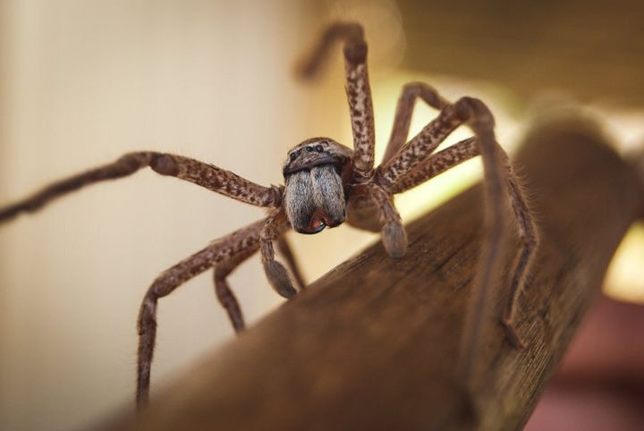 Poor Aussie spiders are unfairly maligned.
