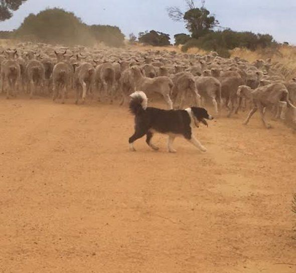 It takes a lot of skill, masterful maneuvering, minimal barking and a lot of running around to shift sheep.  But Jimmy has his sheep buddies under control in a matter of minutes.  After all, he's been training for this since his puppy days.