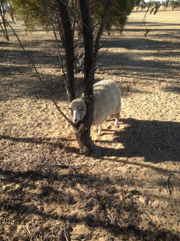 The sheep in the tree, rescued by Jimmy.