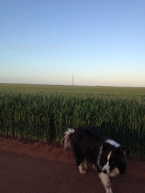 It's time to inspect the wheat crop and make sure there are no rabbits or pesky roos
