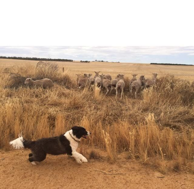 There's a sheep loose in the top paddock!