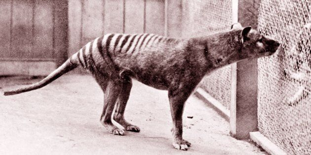 The now-extinct Tasmanian
