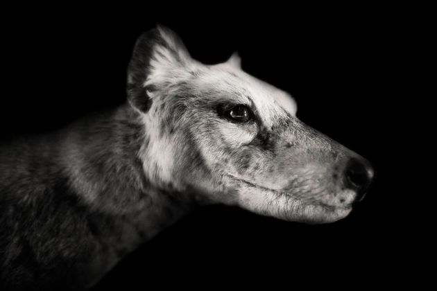 There are four Tasmanian Tiger specimens in institutions around the