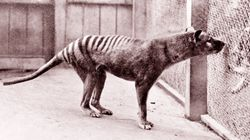 Long-Extinct Tasmanian Tiger Brains Share Their