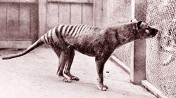 Long-Extinct Tasmanian Tiger Brains Share Their
