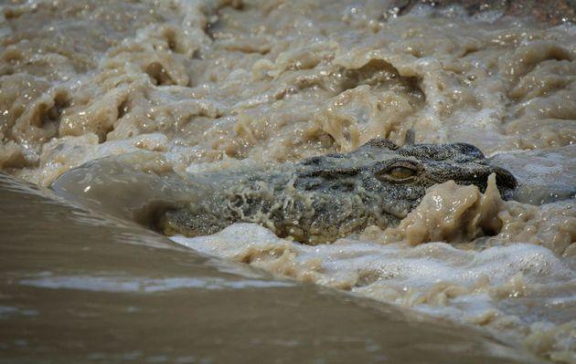 A crocodile waits for fish at Cahills