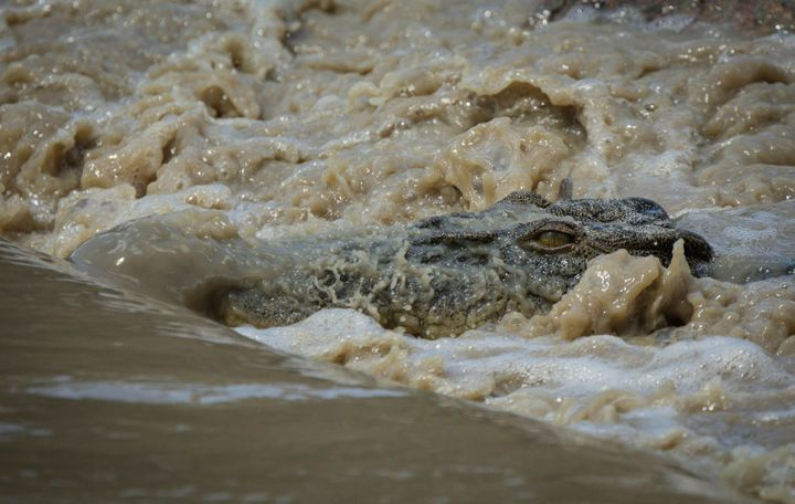A crocodile waits for fish at Cahills Crossing.