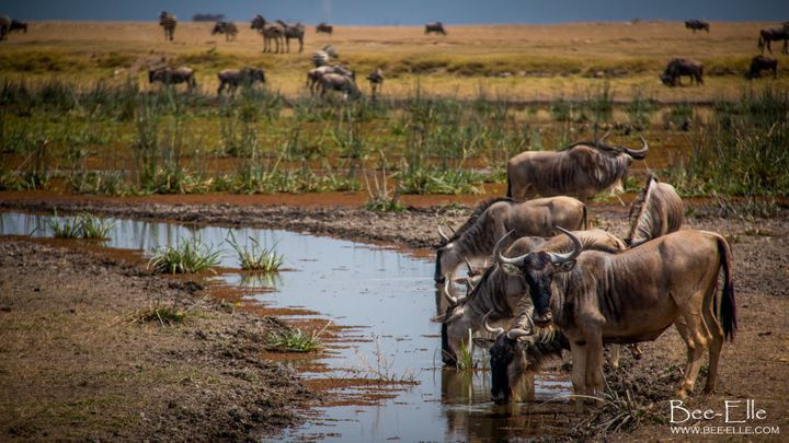 The Mau Forest, which feeds the Mara River, is rapidly shrinking, creating massive threats to the Serengeti ecosystem.