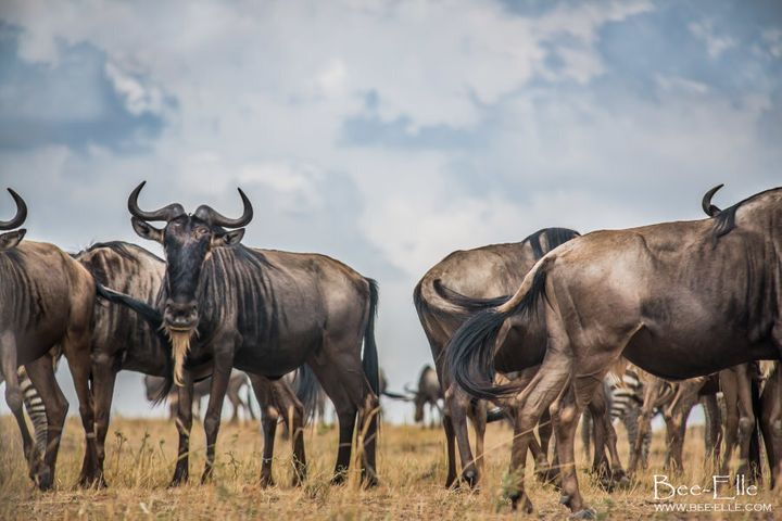 The shrinking state of the forest directly threatens the Serengeti ecosystem and the Great Migration.
