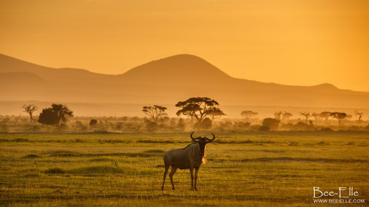 Human expansion and development in the surrounding areas of the Serengeti ecosystem have caused a rapid decline of the wildebeest population.
