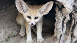 Meet The World's Smallest, Cutest Fox Born At Taronga