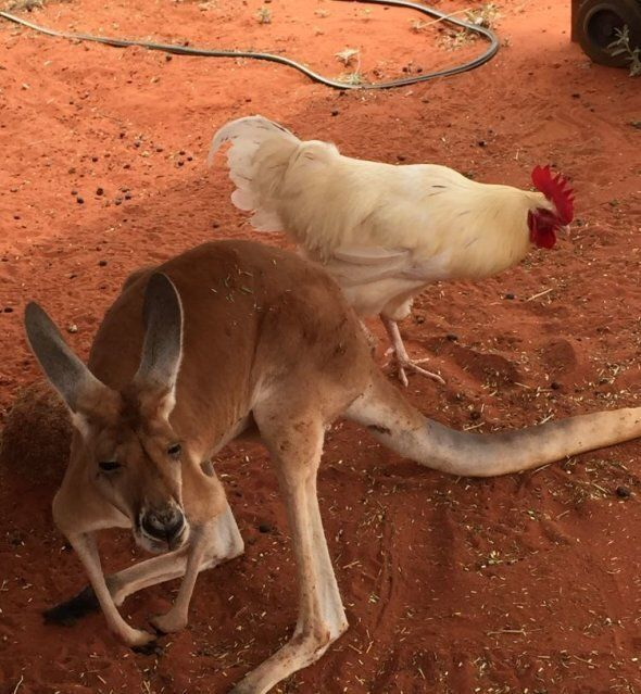 Both the roos and Cluck Norris enjoy a muesli treat every now and then.