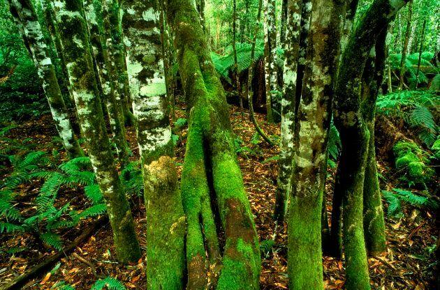 Errinundra National Park Gippsland, Victoria, Australia.