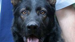 Queensland Police Dog Dies After Chasing Car