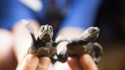 Turtle Hatchlings Die As Queensland Sand Temperatures Hit