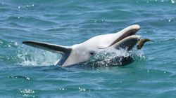 Dolphins Might Be Chewing On Blowfish To Get