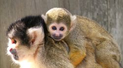 Tiny Team Of Squirrel Monkeys Are As Adorable As You'd