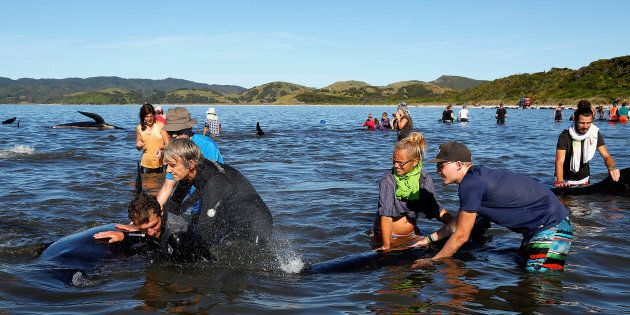 Hundreds of volunteers have flocked to save beached whales in New