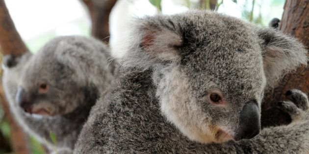 Koalas are struggling in the heat but locals are helping them out with