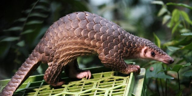 This pangolin was released into the wild after being seized from the illegal trade in Sibolangit, North Sumatra, Indonesia on April 27, 2015.