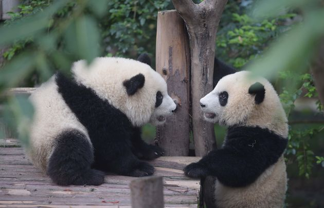 Two giant pandas in Chengdu Research Base of Giant Panda Breeding in Chengdu -- yes, GIANT