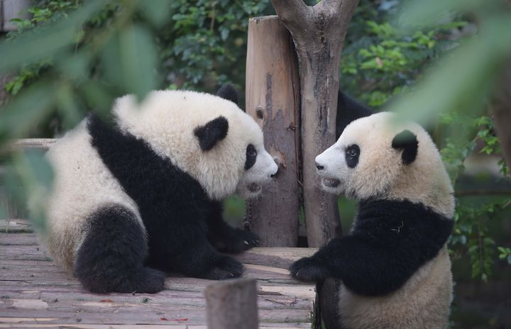 Two giant pandas in Chengdu Research Base of Giant Panda Breeding in Chengdu -- yes, GIANT PANDAS!