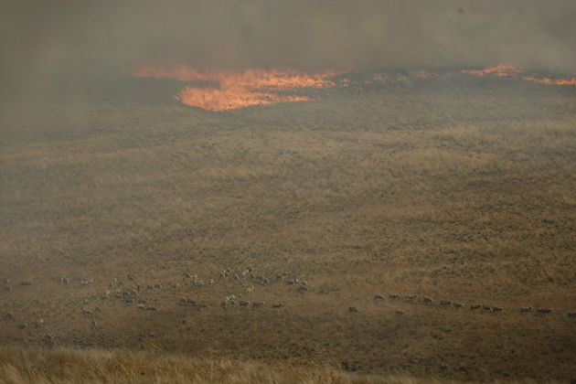 Sheep fleeing from a grassfire at Cassilis, NSW, as firefighters continue to fight fires after it was...